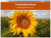 Free Sunflower Field PowerPoint Template Background, FreeTemplatesTheme